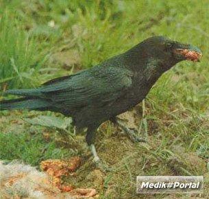 Новокаледонские вороны сразили ученых логическими способностями