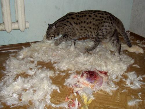 Купить виверрового кота
