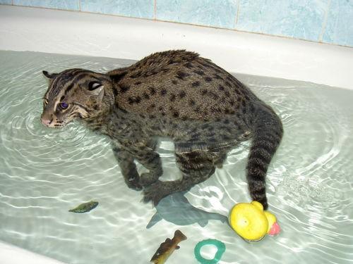 Виверровый кот о породе