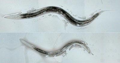 Ученые вывели червей-геев, воздействовав на их мозг