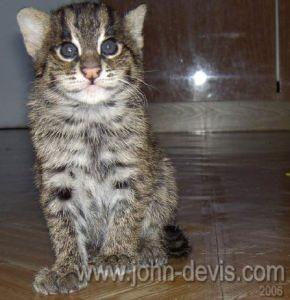 как познакомить взрослого кота с котом