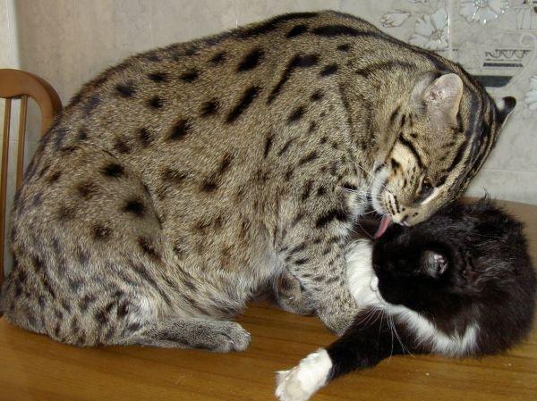стоимость котенка кота рыболова