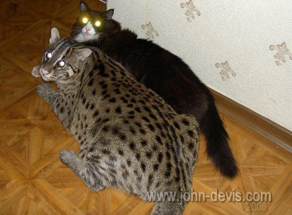 фото виверовского кота рыболова