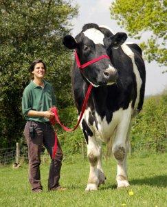 Самый большой бык в мире!