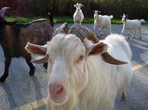 На стратегический объект Нью-Йорка прорвалось стадо козлов