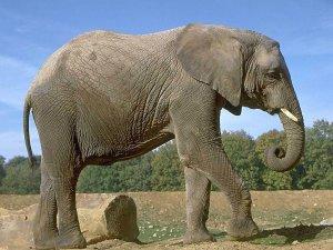 Слон погиб в ДТП