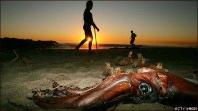 Калифорнийским дайверам угрожают гигантские кальмары