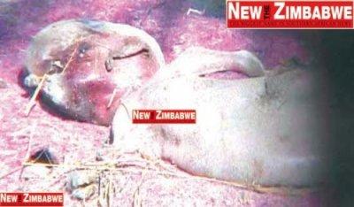 В Зимбабве убили козленка-мутанта опасаясь проклятия (3 фото)