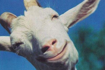 На севере Европы на смену «свиному» гриппу приходит «козий».