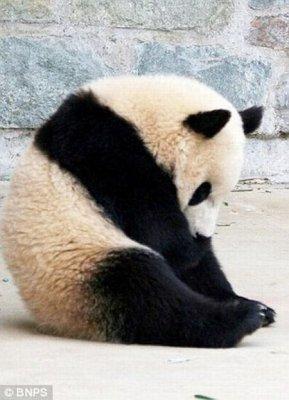 Кувырок панды во сне (7 фото)