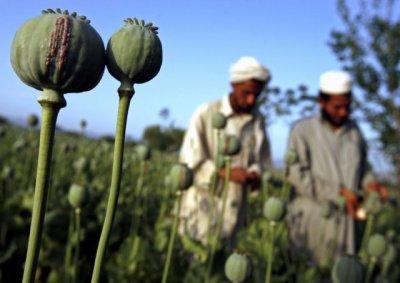Грибок уничтожил половину урожая мака в Афганистане