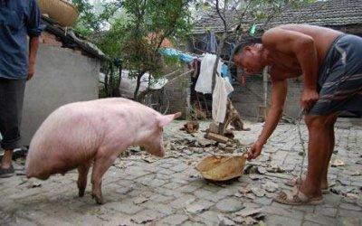 В Китае живет свинья умеющая ходить на двух ногах