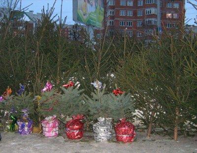 К Новому году предприниматели Московского района г. Чебоксары предложат горожанам живые елки