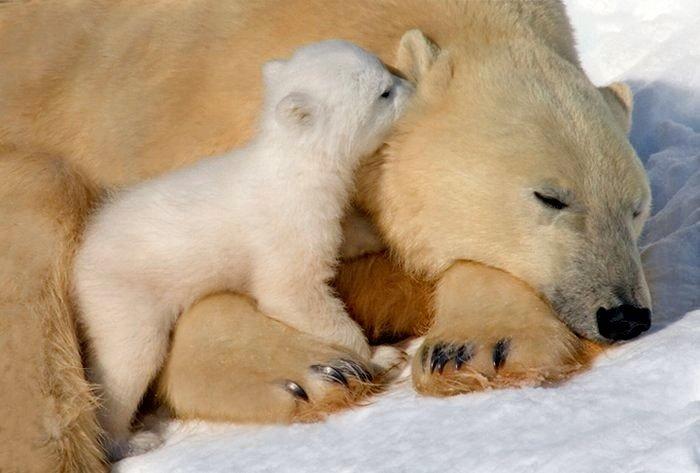 объемы, нал я люблю белых медведей узнать есть