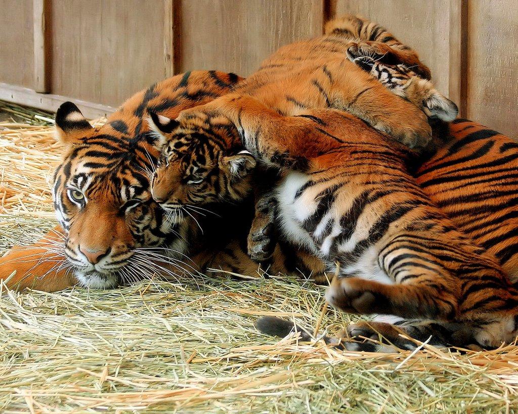 Секс тигров