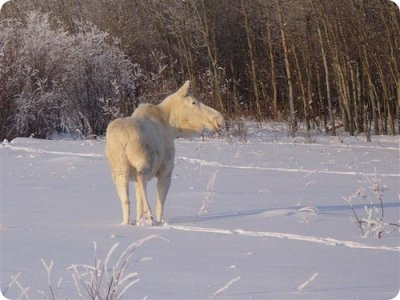 Белый лось (фото+видео)