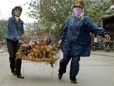 Вслед за цунами в Японию пришел птичий грипп