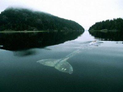 Самая печальная история про самого одинокого кита