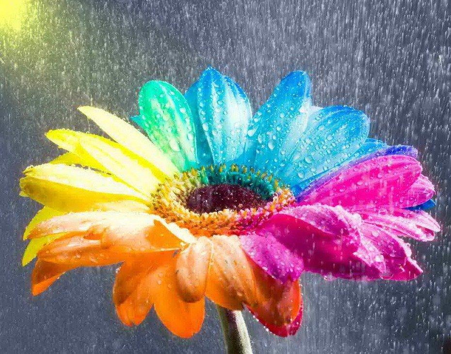 Цветок семицветик картинки 1