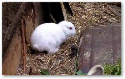 """В окрестностях """"Фукусимы"""" родился кролик без ушей"""
