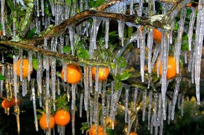 Ледяные фруктовые сады во Флориде