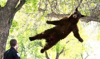 Медведь пришел в университетский городок за едой и упал с дерева