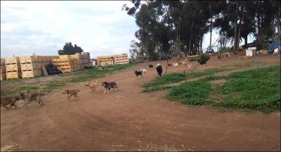 200 собак на прогулке