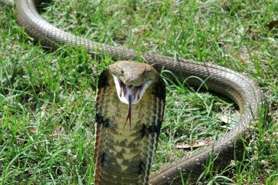 Королевская кобра или гамадриад (Ophiophagus hannah)