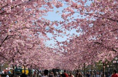 В Японии начался сезон цветения сакуры