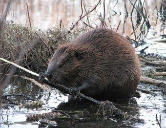 В Белоруссии дикий бобр насмерть загрыз рыбака