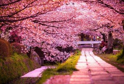Самые красивые цветущие вишни по всему миру