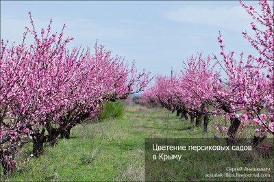 Цветение персиковых садов в Крыму