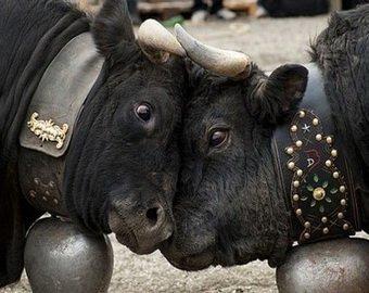 В Швейцарии прошел очередной чемпионат по борьбе среди коров