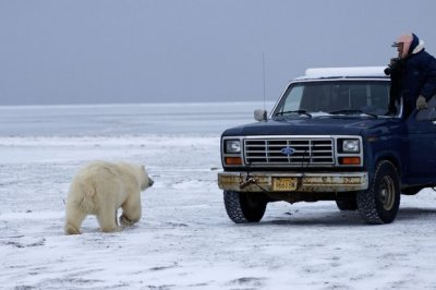 Как белый медведь просился в машину