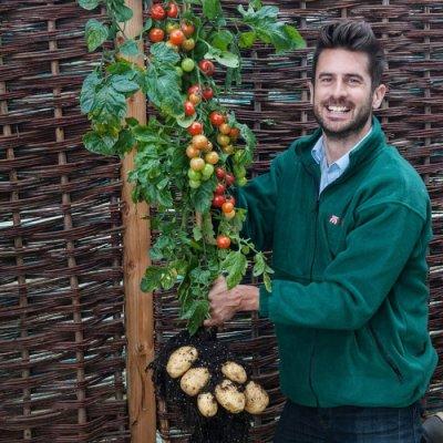 TomTato - гибрид помидора и картофеля