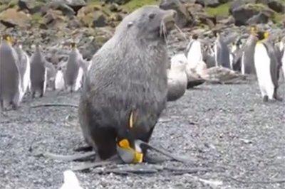 Изнасилование пингвинов морскими котиками привлекло внимание ученых
