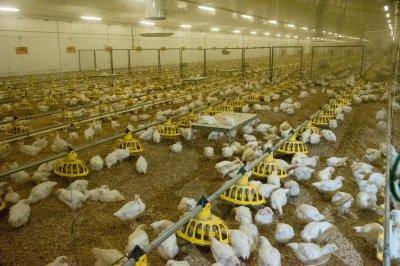 Алтайские птицефабрики наращивают объемы производства продукции.