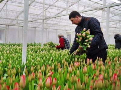 Тюльпаны к праздникам: калининградские фермеры расширяют производство цветов