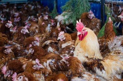 На месте заброшенной фермы в Рязанской области открыт крупный птичник