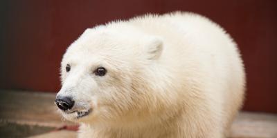 Московский зоопарк организует День белого медведя на выезде