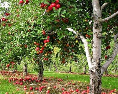 В 2017 году на Кубани появится 1,2 тыс. га новых садов
